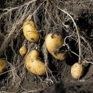 Potatoes are underground stem tubers that evolved to cope with unfavourable conditions.