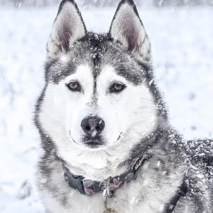 Some breeds of dog are better suited to cold weather
