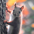 The pockets of red squirrels found throughout Ireland today are not well mixed and many of the populations appear to be genetically isolated.