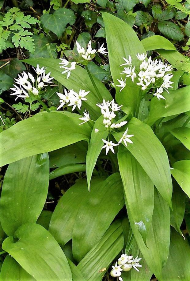 Ramsons is a wild garlic that carpets damp woodlands at this time of year