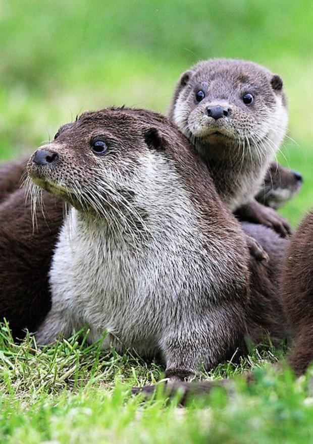 Otters are quintessential wetland animals.