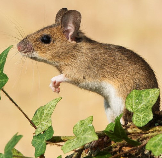 The Wood Mouse has large black eyes and big ears