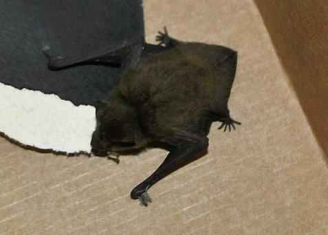 The bat after it was rescued by Conor Gallagher, 10