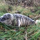 Axel the seal is now doing well