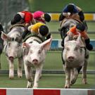 Pigs racing during the Black Pig Festival in Enniscrone