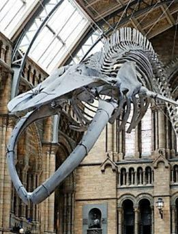 The Blue Whale in the Natural History Museum in London