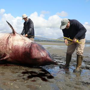 Noel Raftery and Don Cotton measuring the True's Beaked Whale which washed ashore at Cummeen Strand last Friday