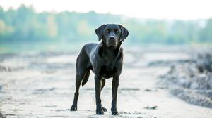 Some breeds are prone to ruptured cruciate ligaments