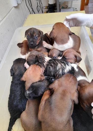 The thirteen puppies which were found discarded in a black bag in the heart of Wexford town