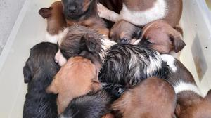 The thirteen puppies which were found discarded in a black bag in the heart of Wexford town.