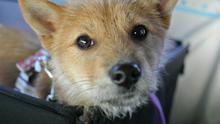 January is the peak month for surrender of dogs to rescue groups