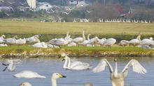 Whooper Swans arrive each year to spend the winter in Ireland.