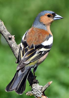 A male Chaffinch in his fresh breeding plumage at this time of year is a handsome bird.