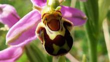 Though recorded in nearly every Irish county, the Bee Orchid has a very local distribution