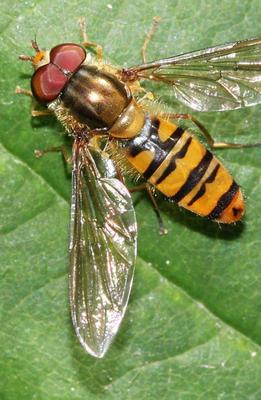 The Marmalade Hoverfly is a common and beneficial garden insect