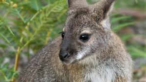 The Red-necked Wallaby is a medium-sized marsupial, common in temperate parts of eastern Australia, including Tasmania