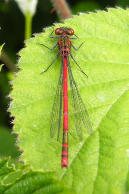 The Large Red Damselfly is the only red damselfly found in Ireland and is flying at present.