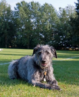 Dandy is a classic example of the Lurcher type of dog