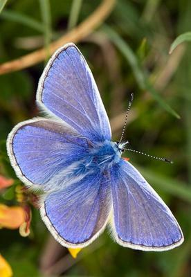 While Common Blue Butterflies are flying at present their numbers are reduced.
