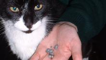 Ticks on dogs and cats, like these ones, can now be prevented