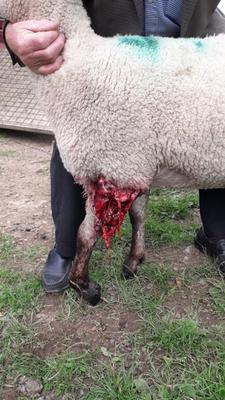 One of Eamonn Furlong's sheep which was injured in an attack