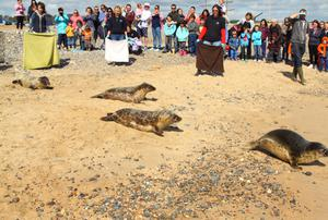 Seal Rescue Ireland releases four grey seals on Courtown's south beach on Saturday.
