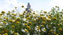 The age old tradition of daisy day will be revived at Hook lighthouse. Photograph: Jimmy Fallon.