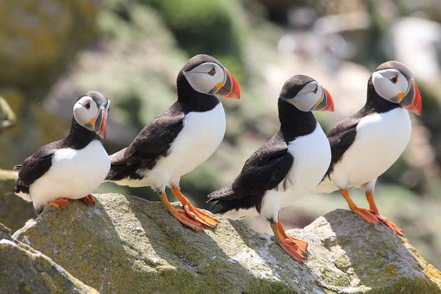 Puffins on the Saltee Islands. (All photos: John Walsh)