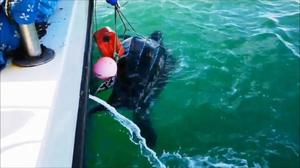 The huge leatherback sea turtle found itself tangled up in a buoy line