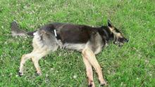 The German Shepherd which is believed to have killed at least 13 sheep in the Adamstown area