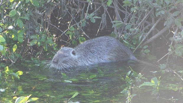 One of Luke's photographs of the coypu in the River Lee.