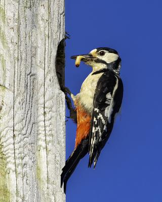 Feeding time for a woodpecker family in Wexford town. Pictures by Declan Roche