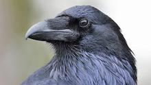 The Raven has a metallic sheen on its feathers making the black glow with subtle hints of blues, lilacs and greens