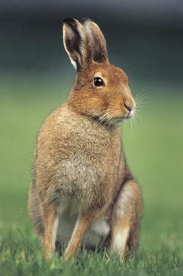 The disease is deadly to hares and rabbits