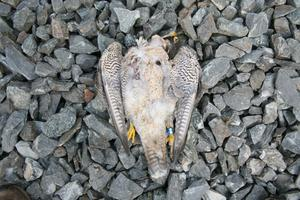 One of two protected Peregrine falcons, possibly poisoned