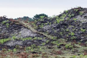 Green shoots pushing through the fire-blackened dunes at Curracloe
