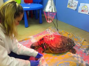 Volunteers at Seal Rescue Ireland in Courtown nursed Ninja turtle back to health with subcutaneous fluid therapy, before getting her to eat fish again.