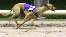 Kiltrea Dawn winning the first race from Strictly Flow at Enniscorthy Greyhound Track on Thursday