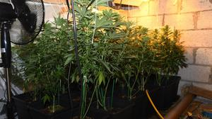 Some of the cannabis plants seized from the property in Glenmalure.