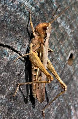 A Common Field Grasshopper sunning itself. While often brown, colours and markings vary greatly