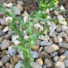 Groundsel growing at the side of a gravel driveway