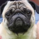 Pugs are cute but they suffer from many health problems