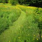 Mown grass path through long grass and buttercups