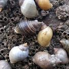 Tributyl tin (TBT) has been known to cause infertility in female Dog Whelks