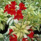 Alstroemeria 'Rock and Roll'