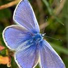 While Common Blue Butterflies are flying at present, their numbers are reduced