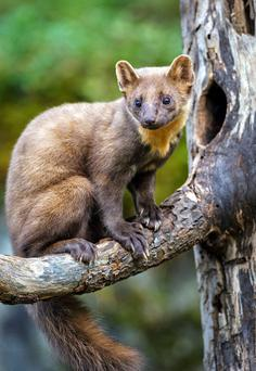 Unfortunately, the forestry department, forgot to tell the pine martens to stay in the forest. Photo: Andy Trowbridge