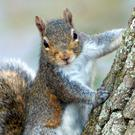 The Grey Squirrel