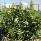 Viburnum tinus 'Royal Baby' is ideal for dwarf hedges