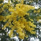 Acacia dealbata-the beautiful yellow mimosa tree